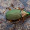 Geltonkojis žalsvažygis - Chlaeniellus nitidulus   Fotografijos autorius : Žilvinas Pūtys   © Macrogamta.lt   Šis tinklapis priklauso bendruomenei kuri domisi makro fotografija ir fotografuoja gyvąjį makro pasaulį.