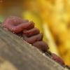 Askokorina - Ascocoryne sp. | Fotografijos autorius : Vidas Brazauskas | © Macrogamta.lt | Šis tinklapis priklauso bendruomenei kuri domisi makro fotografija ir fotografuoja gyvąjį makro pasaulį.