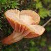 Guotainė - Cuphophyllus cf. pratensis | Fotografijos autorius : Gintautas Steiblys | © Macrogamta.lt | Šis tinklapis priklauso bendruomenei kuri domisi makro fotografija ir fotografuoja gyvąjį makro pasaulį.