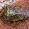 Gudobelinė skydblakė - Acanthosoma haemorrhoidale ♂ | Fotografijos autorius : Žilvinas Pūtys | © Macrogamta.lt | Šis tinklapis priklauso bendruomenei kuri domisi makro fotografija ir fotografuoja gyvąjį makro pasaulį.
