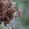 Ilgakojis uodas - Nephrotoma analis ♀ | Fotografijos autorius : Žilvinas Pūtys | © Macrogamta.lt | Šis tinklapis priklauso bendruomenei kuri domisi makro fotografija ir fotografuoja gyvąjį makro pasaulį.