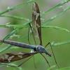 Ilgakojis uodas - Tipula maxima | Fotografijos autorius : Gintautas Steiblys | © Macrogamta.lt | Šis tinklapis priklauso bendruomenei kuri domisi makro fotografija ir fotografuoja gyvąjį makro pasaulį.
