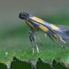 Jonažolinė keršoji kandelė - Euspilapteryx auroguttella   Fotografijos autorius : Arūnas Eismantas   © Macrogamta.lt   Šis tinklapis priklauso bendruomenei kuri domisi makro fotografija ir fotografuoja gyvąjį makro pasaulį.