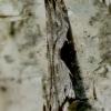 Juodadėmė hypatima - Hypatima rhomboidella | Fotografijos autorius : Romas Ferenca | © Macrogamta.lt | Šis tinklapis priklauso bendruomenei kuri domisi makro fotografija ir fotografuoja gyvąjį makro pasaulį.