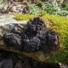 Juodasis beržo grybas | Fotografijos autorius : Saulius Drazdauskas | © Macrogamta.lt | Šis tinklapis priklauso bendruomenei kuri domisi makro fotografija ir fotografuoja gyvąjį makro pasaulį.