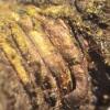 Kablelinis skydamaris - Lepidosaphes ulmi | Fotografijos autorius : Vytautas Tamutis | © Macrogamta.lt | Šis tinklapis priklauso bendruomenei kuri domisi makro fotografija ir fotografuoja gyvąjį makro pasaulį.