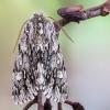 Kailiniuotasis naktinukas - Brachionycha nubeculosa | Fotografijos autorius : Vaida Paznekaitė | © Macrogamta.lt | Šis tinklapis priklauso bendruomenei kuri domisi makro fotografija ir fotografuoja gyvąjį makro pasaulį.