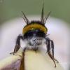 Žeminė kamanė - Bombus terrestris | Fotografijos autorius : Darius Baužys | © Macrogamta.lt | Šis tinklapis priklauso bendruomenei kuri domisi makro fotografija ir fotografuoja gyvąjį makro pasaulį.