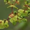 Karpažolė - Euphorbia stricta | Fotografijos autorius : Gintautas Steiblys | © Macrogamta.lt | Šis tinklapis priklauso bendruomenei kuri domisi makro fotografija ir fotografuoja gyvąjį makro pasaulį.