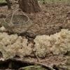 Korališkasis trapiadyglis - Hericium coralloides | Fotografijos autorius : Kęstutis Obelevičius | © Macrogamta.lt | Šis tinklapis priklauso bendruomenei kuri domisi makro fotografija ir fotografuoja gyvąjį makro pasaulį.