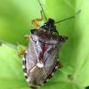 Kruvinoji skydblakė - Pinthaeus sanguinipes | Fotografijos autorius : Radvilė Markevičiūtė | © Macrogamta.lt | Šis tinklapis priklauso bendruomenei kuri domisi makro fotografija ir fotografuoja gyvąjį makro pasaulį.