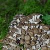 Kuokštinė grifolė - Grifola frondosa | Fotografijos autorius : Deividas Makavičius | © Macrogamta.lt | Šis tinklapis priklauso bendruomenei kuri domisi makro fotografija ir fotografuoja gyvąjį makro pasaulį.