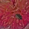 Kvapusis auksavabalis - Oxythyrea funesta | Fotografijos autorius : Kęstutis Obelevičius | © Macrogamta.lt | Šis tinklapis priklauso bendruomenei kuri domisi makro fotografija ir fotografuoja gyvąjį makro pasaulį.