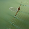Lašalas - Ephemeroptera | Fotografijos autorius : Agnė Našlėnienė | © Macrogamta.lt | Šis tinklapis priklauso bendruomenei kuri domisi makro fotografija ir fotografuoja gyvąjį makro pasaulį.