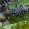 Lapinukas - Polydrusus pilosus | Fotografijos autorius : Žilvinas Pūtys | © Macrogamta.lt | Šis tinklapis priklauso bendruomenei kuri domisi makro fotografija ir fotografuoja gyvąjį makro pasaulį.