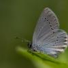 Mažasis melsvys - Cupido minimus | Fotografijos autorius : Eglė Vičiuvienė (Černevičiūtė) | © Macrogamta.lt | Šis tinklapis priklauso bendruomenei kuri domisi makro fotografija ir fotografuoja gyvąjį makro pasaulį.