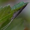 Makštikandė - Coleophora sp. | Fotografijos autorius : Eglė Vičiuvienė (Černevičiūtė) | © Macrogamta.lt | Šis tinklapis priklauso bendruomenei kuri domisi makro fotografija ir fotografuoja gyvąjį makro pasaulį.