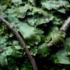 Kūginė apiželė - Conocephalum conicum | Fotografijos autorius : Aleksandras Stabrauskas | © Macrogamta.lt | Šis tinklapis priklauso bendruomenei kuri domisi makro fotografija ir fotografuoja gyvąjį makro pasaulį.