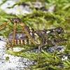Margasis ietinukas - Myrmeleotettix maculatus | Fotografijos autorius : Vaida Paznekaitė | © Macrogamta.lt | Šis tinklapis priklauso bendruomenei kuri domisi makro fotografija ir fotografuoja gyvąjį makro pasaulį.