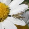 Margasparnė - Chaetostomella cylindrica ♀ | Fotografijos autorius : Agnė Kulpytė | © Macrogamta.lt | Šis tinklapis priklauso bendruomenei kuri domisi makro fotografija ir fotografuoja gyvąjį makro pasaulį.