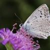 Karpytasparnis melsvys - Polyommatus daphnis, patinėlis | Fotografijos autorius : Vaida Paznekaitė | © Macrogamta.lt | Šis tinklapis priklauso bendruomenei kuri domisi makro fotografija ir fotografuoja gyvąjį makro pasaulį.