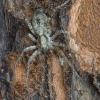 Miškinis gležnavoris - Anyphaena accentuata | Fotografijos autorius : Giedrius Markevičius | © Macrogamta.lt | Šis tinklapis priklauso bendruomenei kuri domisi makro fotografija ir fotografuoja gyvąjį makro pasaulį.
