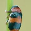 Morkinis salierinukas - Coptocephala unifasciata | Fotografijos autorius : Gintautas Steiblys | © Macrogamta.lt | Šis tinklapis priklauso bendruomenei kuri domisi makro fotografija ir fotografuoja gyvąjį makro pasaulį.