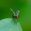 Musė - Geomyza tripunctata | Fotografijos autorius : Romas Ferenca | © Macrogamta.lt | Šis tinklapis priklauso bendruomenei kuri domisi makro fotografija ir fotografuoja gyvąjį makro pasaulį.