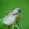 Tikramusė - Coenosia mollicula   Fotografijos autorius : Vidas Brazauskas   © Macrogamta.lt   Šis tinklapis priklauso bendruomenei kuri domisi makro fotografija ir fotografuoja gyvąjį makro pasaulį.