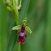 Musinis ofris - Ophrys insectifera | Fotografijos autorius : Nomeda Vėlavičienė | © Macrogamta.lt | Šis tinklapis priklauso bendruomenei kuri domisi makro fotografija ir fotografuoja gyvąjį makro pasaulį.