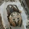 Nendrinis žnypliavoris - Larinioides cornutus | Fotografijos autorius : Gintautas Steiblys | © Macrogamta.lt | Šis tinklapis priklauso bendruomenei kuri domisi makro fotografija ir fotografuoja gyvąjį makro pasaulį.