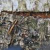 Paprastasis guolininkas - Pisaura mirabilis   Fotografijos autorius : Agnė Našlėnienė   © Macrogamta.lt   Šis tinklapis priklauso bendruomenei kuri domisi makro fotografija ir fotografuoja gyvąjį makro pasaulį.