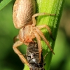 Paprastasis krabvoris - Xysticus cristatus | Fotografijos autorius : Ramunė Vakarė | © Macrogamta.lt | Šis tinklapis priklauso bendruomenei kuri domisi makro fotografija ir fotografuoja gyvąjį makro pasaulį.