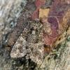 Paprastasis sėklinukas | Fotografijos autorius : Darius Baužys | © Macrogamta.lt | Šis tinklapis priklauso bendruomenei kuri domisi makro fotografija ir fotografuoja gyvąjį makro pasaulį.