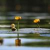 Paprastoji lūgnė - Nuphar lutea | Fotografijos autorius : Agnė Našlėnienė | © Macrogamta.lt | Šis tinklapis priklauso bendruomenei kuri domisi makro fotografija ir fotografuoja gyvąjį makro pasaulį.