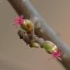 Paprastojo lazdyno (Corylus avellana) moteriškasis žiedas | Fotografijos autorius : Vidas Brazauskas | © Macrogamta.lt | Šis tinklapis priklauso bendruomenei kuri domisi makro fotografija ir fotografuoja gyvąjį makro pasaulį.
