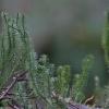 Pataisas varinčius - Lycopodium annotinum   Fotografijos autorius : Kęstutis Obelevičius   © Macrogamta.lt   Šis tinklapis priklauso bendruomenei kuri domisi makro fotografija ir fotografuoja gyvąjį makro pasaulį.