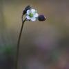 Pavasarinis kežys - Spergula morisonii | Fotografijos autorius : Agnė Našlėnienė | © Macrogamta.lt | Šis tinklapis priklauso bendruomenei kuri domisi makro fotografija ir fotografuoja gyvąjį makro pasaulį.
