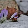 Pavasarinis krokas - Crocus vernus | Fotografijos autorius : Kęstutis Obelevičius | © Macrogamta.lt | Šis tinklapis priklauso bendruomenei kuri domisi makro fotografija ir fotografuoja gyvąjį makro pasaulį.