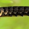 Pievinis sfinksas - Deilephila elpenor | Fotografijos autorius : Ramunė Vakarė | © Macrogamta.lt | Šis tinklapis priklauso bendruomenei kuri domisi makro fotografija ir fotografuoja gyvąjį makro pasaulį.