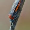 Pjūklelis - Dolerus madidus | Fotografijos autorius : Arūnas Eismantas | © Macrogamta.lt | Šis tinklapis priklauso bendruomenei kuri domisi makro fotografija ir fotografuoja gyvąjį makro pasaulį.