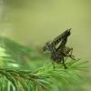 Plėšriamusė - Asilidae sp.   Fotografijos autorius : Vidas Brazauskas   © Macrogamta.lt   Šis tinklapis priklauso bendruomenei kuri domisi makro fotografija ir fotografuoja gyvąjį makro pasaulį.