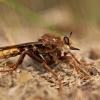 Plėšriamusė - Asilus crabroniformis | Fotografijos autorius : Zita Gasiūnaitė | © Macrogamta.lt | Šis tinklapis priklauso bendruomenei kuri domisi makro fotografija ir fotografuoja gyvąjį makro pasaulį.
