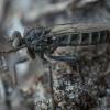 Plėšriamusė - Lasiopogon cinctus ♂ | Fotografijos autorius : Žilvinas Pūtys | © Macrogamta.lt | Šis tinklapis priklauso bendruomenei kuri domisi makro fotografija ir fotografuoja gyvąjį makro pasaulį.