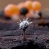 Polycephalomyces tomentosus ant Trichia decipiens | Fotografijos autorius : Eglė Vičiuvienė | © Macrogamta.lt | Šis tinklapis priklauso bendruomenei kuri domisi makro fotografija ir fotografuoja gyvąjį makro pasaulį.