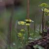 Pražangialapė blužnutė - Chrysosplenium alternifolium | Fotografijos autorius : Kęstutis Obelevičius | © Macrogamta.lt | Šis tinklapis priklauso bendruomenei kuri domisi makro fotografija ir fotografuoja gyvąjį makro pasaulį.