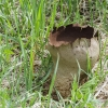 Didysis kukurdvelkis - Calvatia gigantea | Fotografijos autorius : Kazimieras Martinaitis | © Macrogamta.lt | Šis tinklapis priklauso bendruomenei kuri domisi makro fotografija ir fotografuoja gyvąjį makro pasaulį.