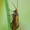 Purieninė kandis - Micropterix calthella | Fotografijos autorius : Žilvinas Pūtys | © Macrogamta.lt | Šis tinklapis priklauso bendruomenei kuri domisi makro fotografija ir fotografuoja gyvąjį makro pasaulį.