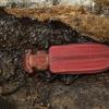 Purpurinis plokščiavabalis - Cucujus cinnaberinus | Fotografijos autorius : Kazimieras Martinaitis | © Macrogamta.lt | Šis tinklapis priklauso bendruomenei kuri domisi makro fotografija ir fotografuoja gyvąjį makro pasaulį.