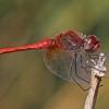 Raudongyslė skėtė - Sympetrum fonscolombii, patinėlis | Fotografijos autorius : Vaida Paznekaitė | © Macrogamta.lt | Šis tinklapis priklauso bendruomenei kuri domisi makro fotografija ir fotografuoja gyvąjį makro pasaulį.